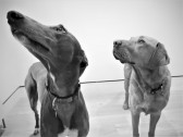 Bonnie and Milo - Office dogs